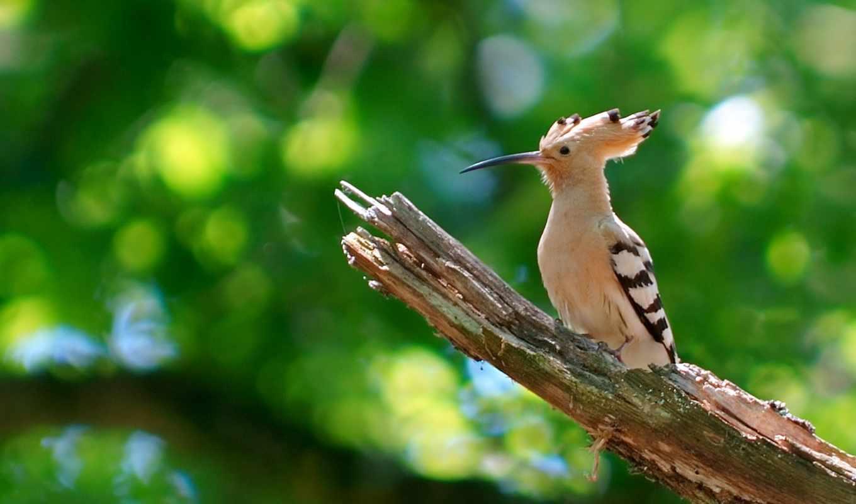 удод, птица, зелень, небольшая, клювом, узким, длинным, яркоокрашенная,