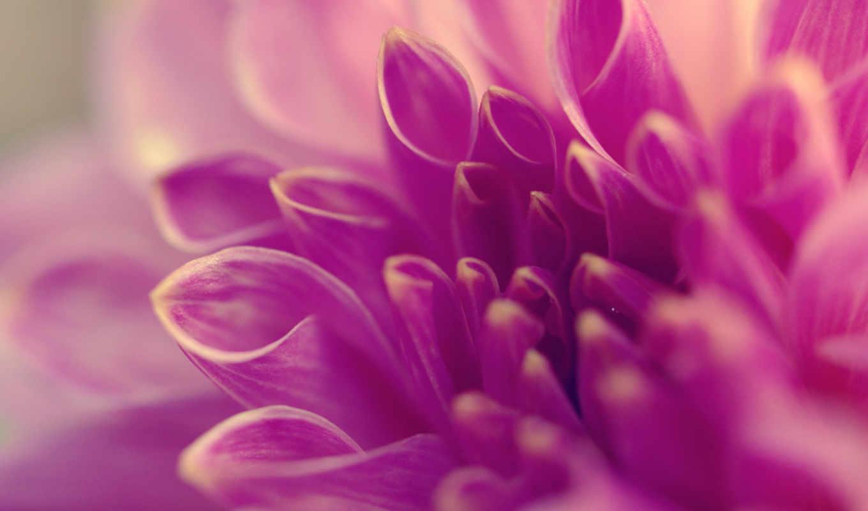 лепестки, сиреневый, цветы, макро,