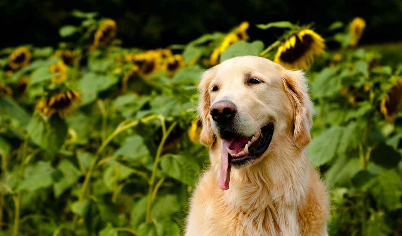 собаки, ретривер, zhivotnye, kartinka, зооклубе,
