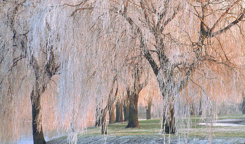 covered, чтобы, деревья, ice, картинку, willow, trees, природы, обоями, fotoalbum, von, размере, её, просмотреть, реальном,