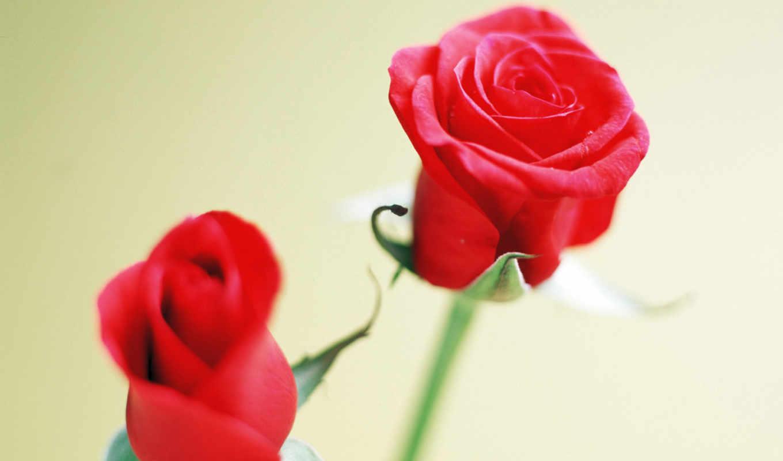 цветы, роза, posted, arora, очень, розы, марта, качественных, колоритных,