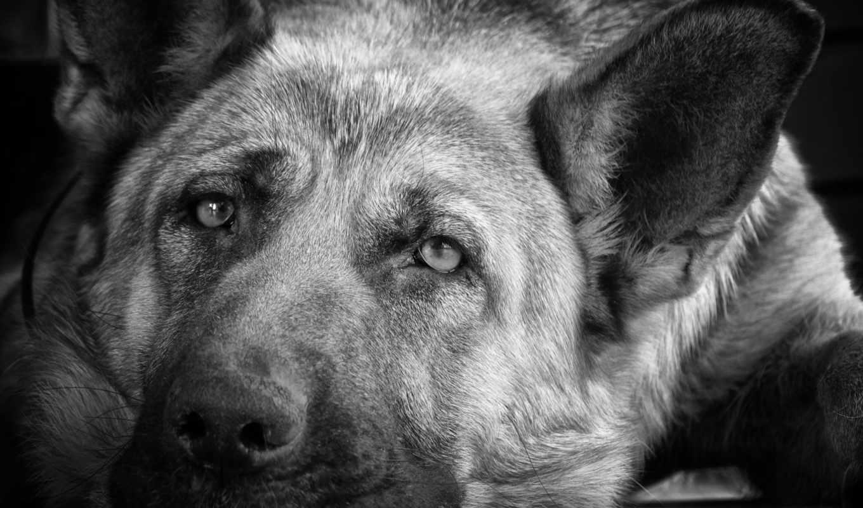овчарка, немецкая, овчарки, собаки, грустные, фото,
