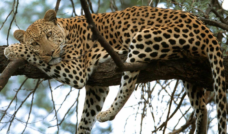 леопард, дереве, гепард, leopards, леопарды, leopar, животные, чтобы, рысь, leopardo, дерева, гепарды, je, леопардов, panther, sydafrika, resim, photos, lemon, cat, animais, sea, животными, extinção,