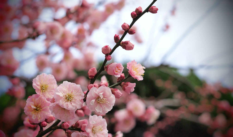 цветы, branch, розовые, дерево, лепестки,
