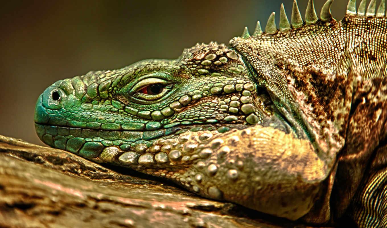ящер, iguana, ящериц, zhivotnye, дракон, шкала, reptile,