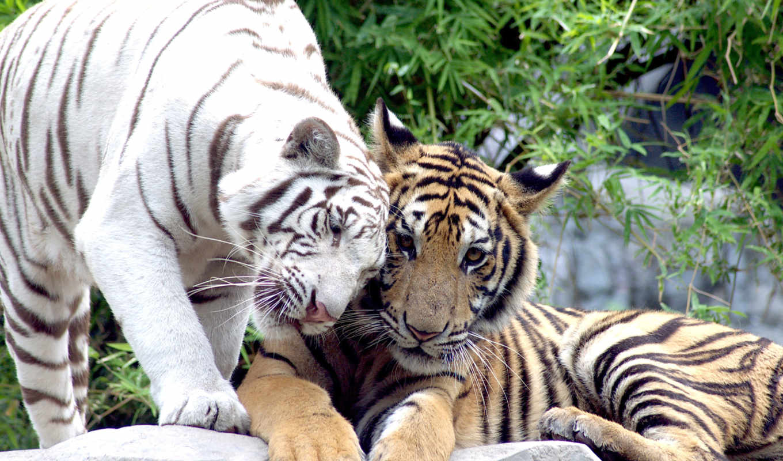 тигр, white, кошки, тигры, pair,