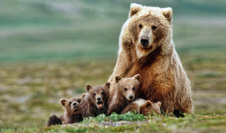 zhivotnye, картинка, игры, животных, медвежата, медведи,