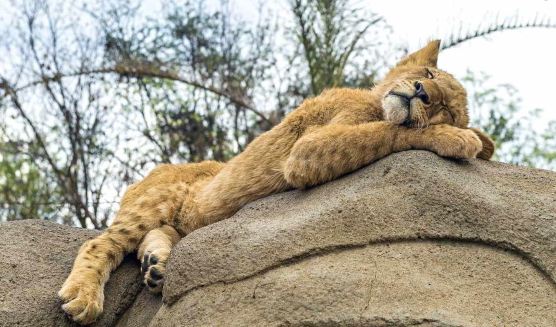 картинка, кот, спит, спать, камень, львенок, отдых, ирбис, снег, леопард, детёныш,