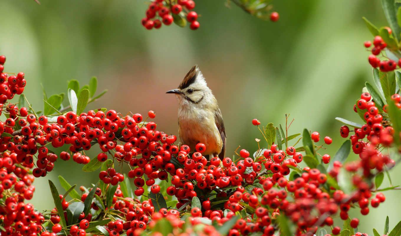 птица, ягоды, ветки, пираканта, юхина, буроголовая, branch, ягода,