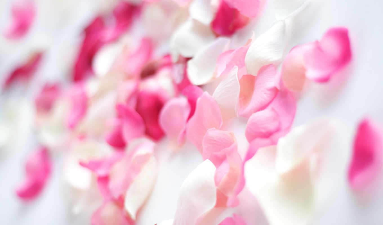 лепестки, роза, роз, розовые, белые, розы, цветы, розовый, розовая,