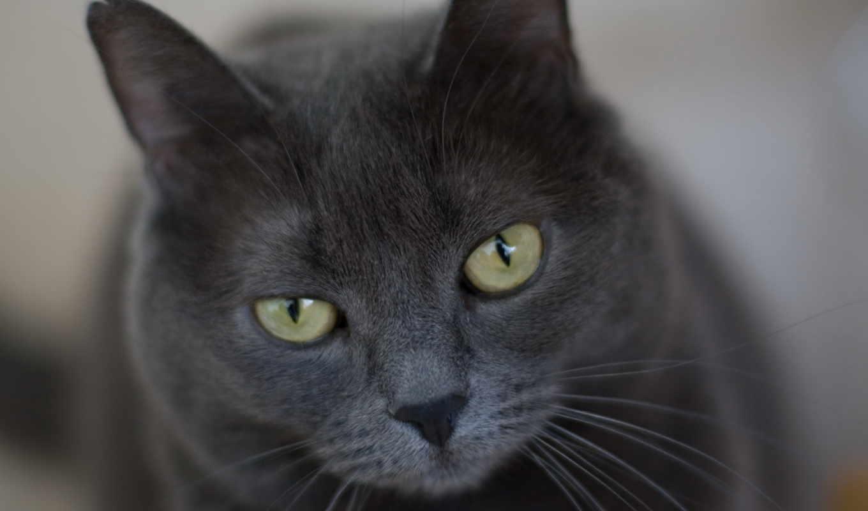 кот, глаза, усы ecran, серый, строгий, гремпи, грусть,