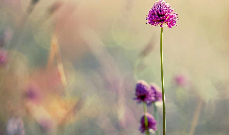 cvety, clover, нежные, размытость, размытие,