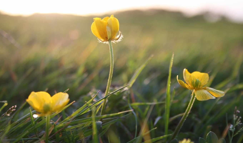 цветы, желтые, трава, summer, макро, поле, растительность,