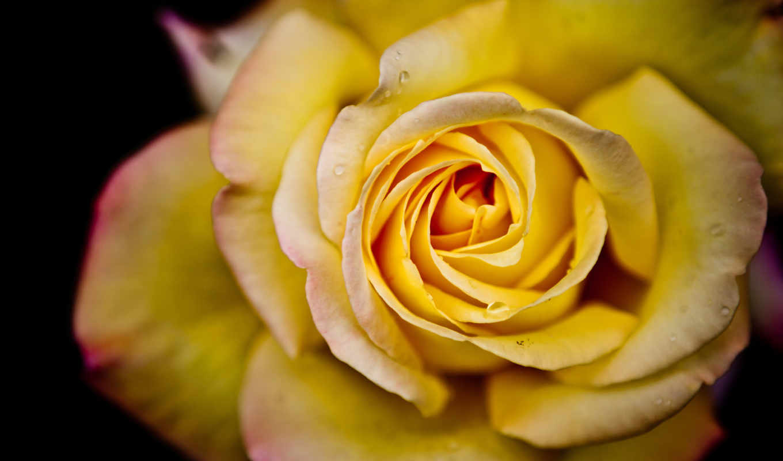 makro, цветок, макро, лепестки, капли, цветы, roza, voda,
