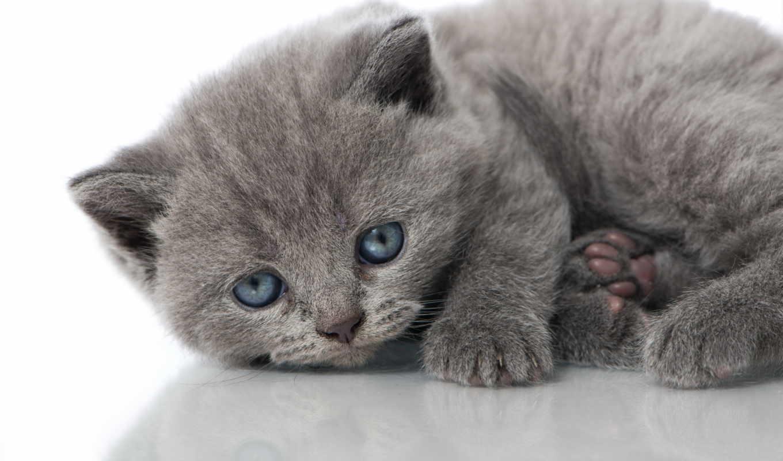 котенок, glaza, голубые, серый, котята, kot,