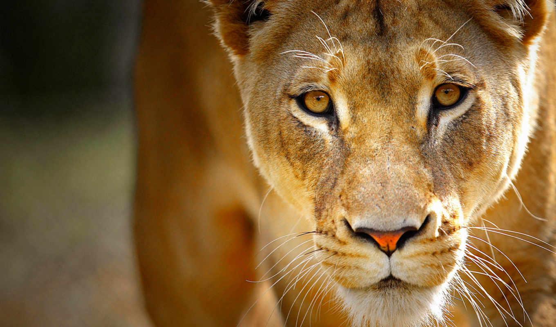 львица, львенок, lion,