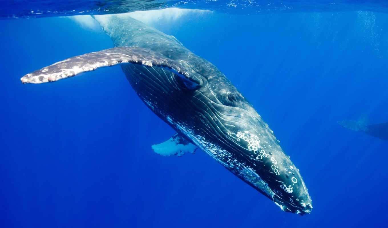 baleine, ecran, fond, изображение, animaux, id, bosse, fonds, кит,