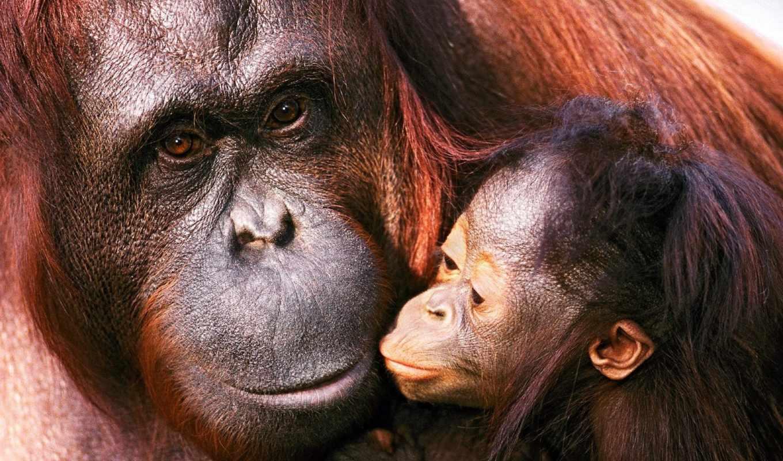 звери, детёныш, семья, мама, орангутанги,