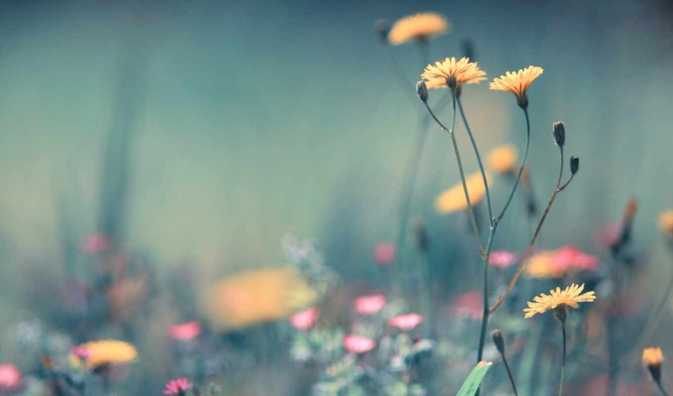 flowers, dandelion, free, download, desktop, photography, you, best,