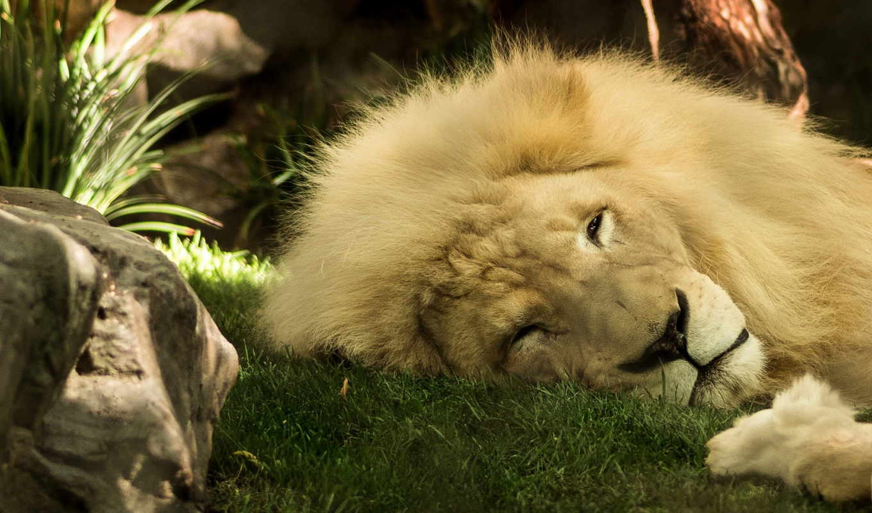 lion, животные, king, зверей, грива,