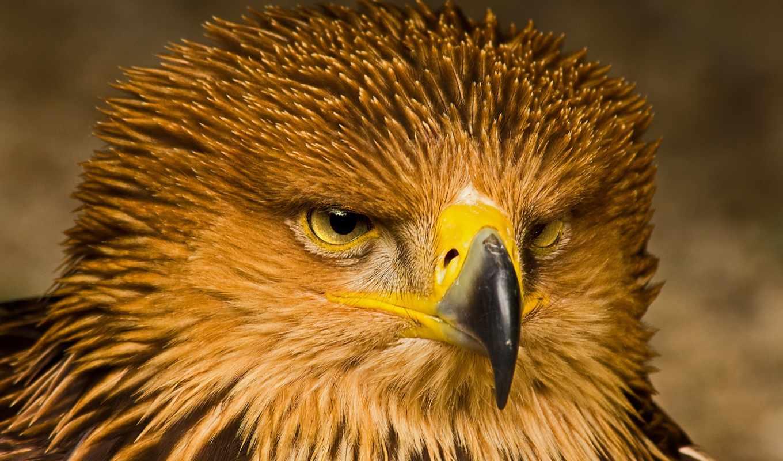 орел, птица, zhivotnye, страница, хищник, мб, количество,