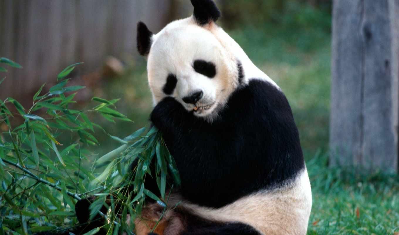 панда, медведь, панды, вектор, portraits, большая, аватарки,