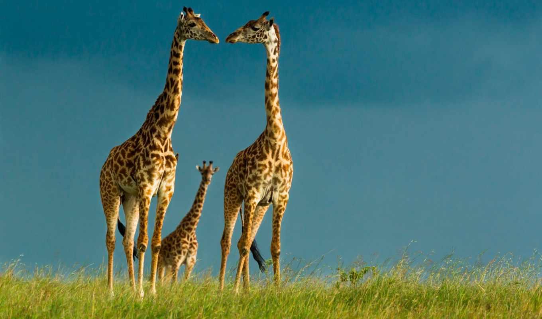 семья, жирафы, шерсть, рога, шей, zhivotnye, детёныш, заставки, окрас, ноги,