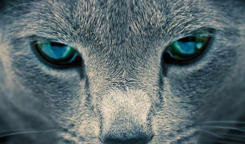 морда, eyes, глаза, разрешением, pack, wallpaper, пепельный, похожие, кота, and, окрас,