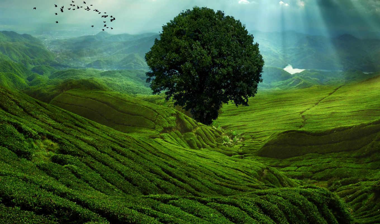 чайные, плантации, бывают, гектар, десятков,