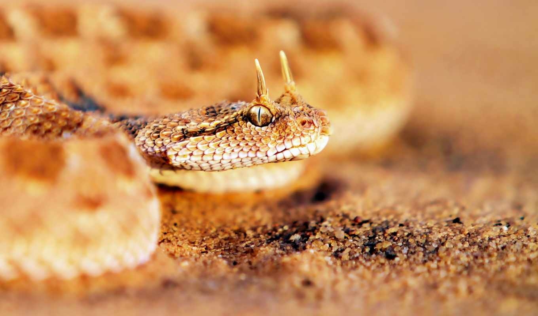 рогатая, snake, viper, cerastes, змеи,