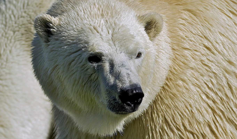 медведь, polar, ago, лет, desktop, widescreen, фон, free,