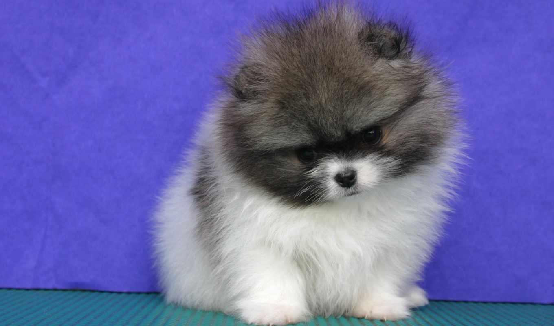 pomeranian, mix, хаски, pomsky, puppies, tzu, pinterest, об, shih, images,