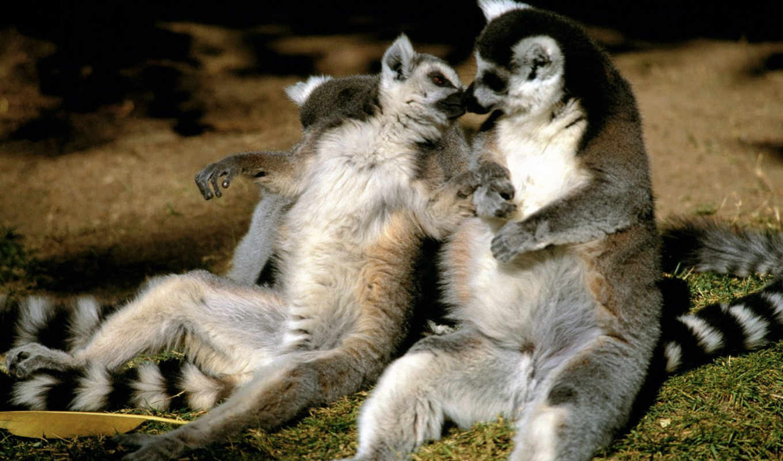 , lemur, love, resim, tailed, ring, animals, life, angelfallss, lemurs, two, лемура,