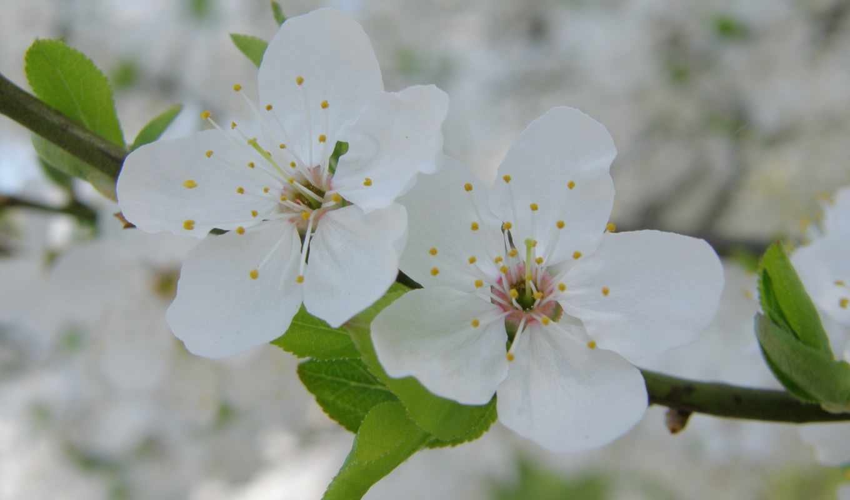 любовь, приколы, логотипы, мобильного, телефона, beeset, бесплатные, авто, мото, иконка, весеннее, цветение, vegas, las, природа, цветы, spring, blooming, цветки, белые, лепестки, повторы, адекватно,