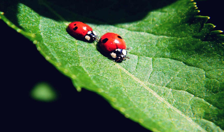 ladybug, animals, desktop, this, категория, miraculous,