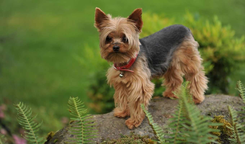 бультерьер, йоркширский, собак, породы, собаки, video, пород, терьеров, виды, терьеры,