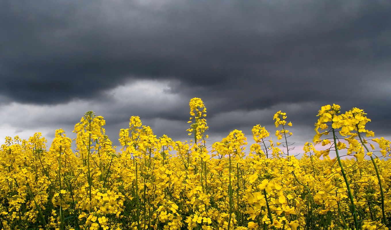 поле, полевые, желтые, дождем, cvety, против, жёлтых, растения, цветов,