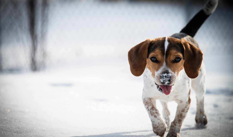 beagle, фон, free, full, desktop, собака,