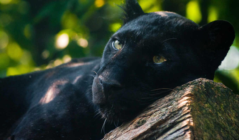 panther, хищник, кот, пантеры, взгляд, большая,
