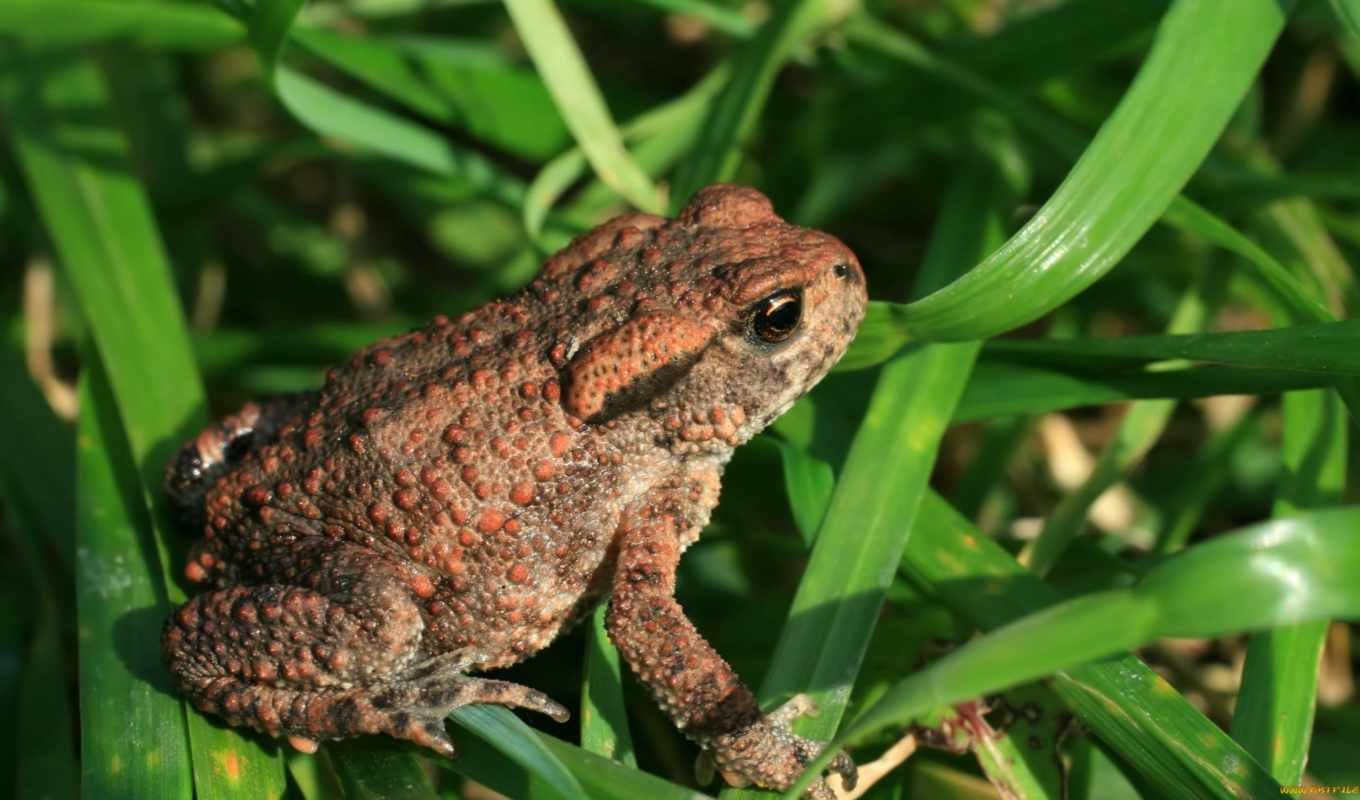 toad, common, toads, видов, frogs, bufo, animals,