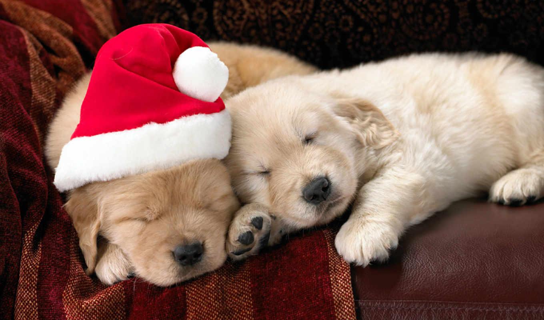 новогодние, собаки, обои, новогоднюю, фото, купить