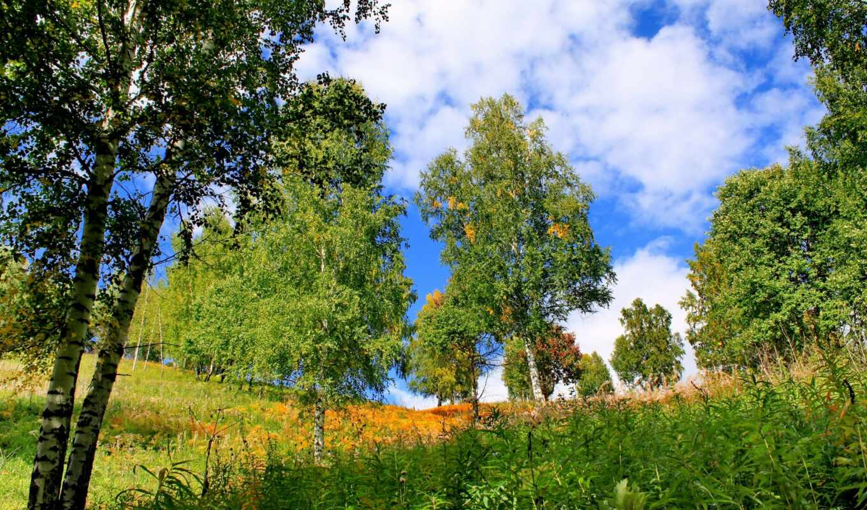 дерево, summer, трава, береза
