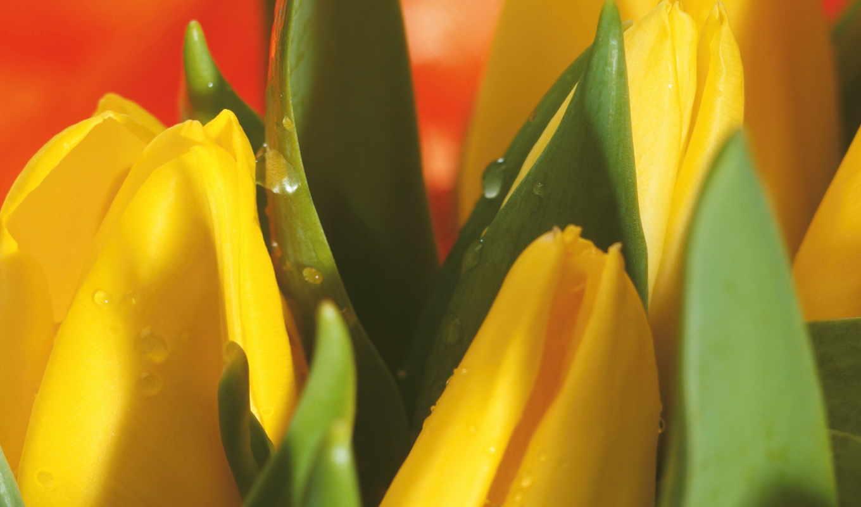 цветы, тюльпаны, букет, желтый, макро, капли, весна, картинка, картинку,