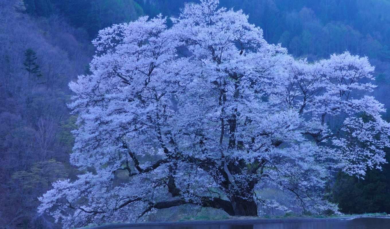Сакура, япония, природа,