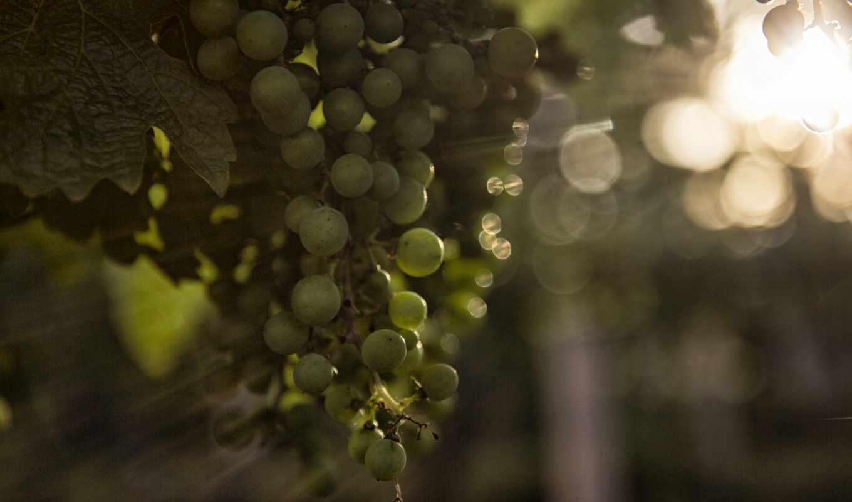 виноград,