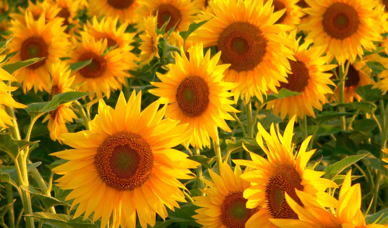 подсолнухи, cvety, зелёный, many, желтые, похожие, подсолнух,