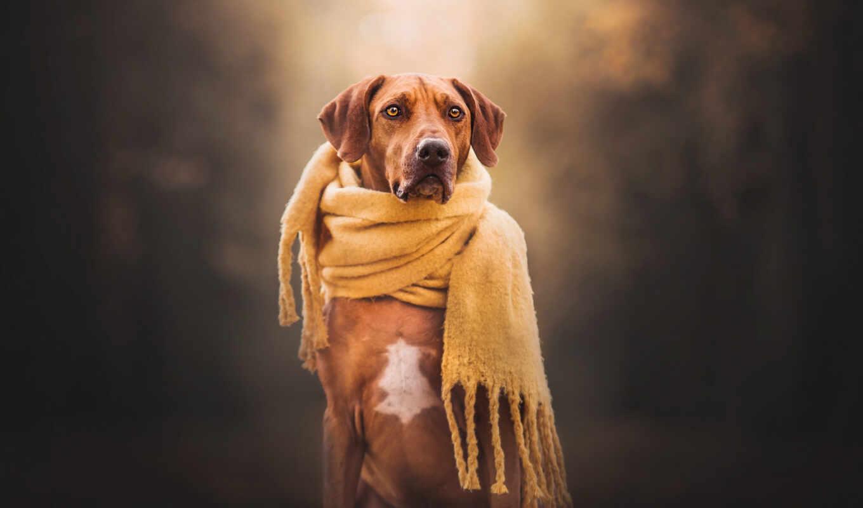 ridgeback, rhodesian, собака