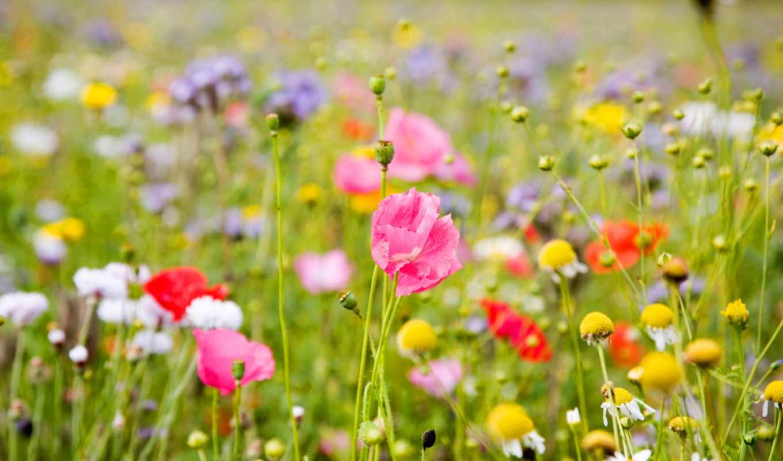 цветы, полевые, них,