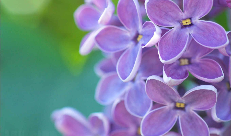 flores, fotos, lilas, primavera, violetas, lila, imágenes, verde, fondos, descripción, fondo,