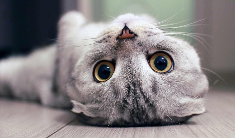 кот, котенок, animal, вислоухий, красивый, scottish, see